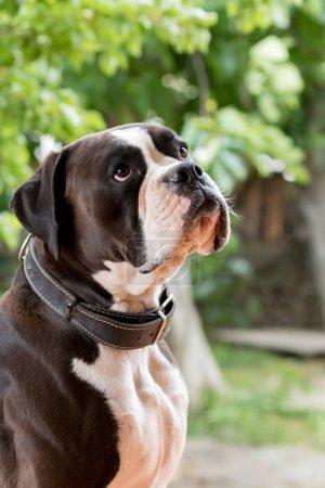 White and black boxer dog