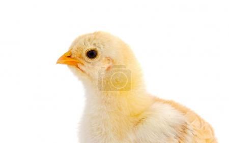Profile of yellow chicken