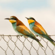 Couple of bee-eaters on metallic fence...