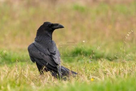 wild black crow in meadow