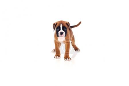 Adorable boxer puppy