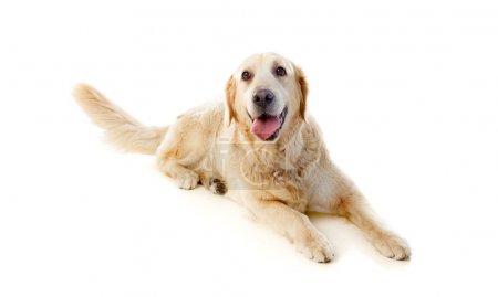 Lying Golden Retriever dog