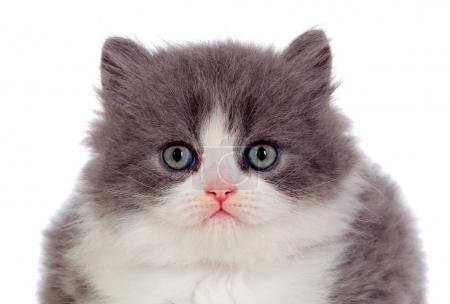 Adorable Persian cat isolated over white background