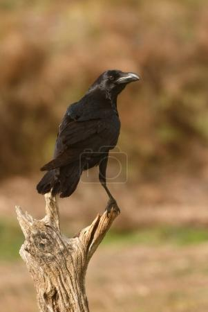 black plumage of crow on branch in natural habitat