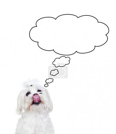 cute Maltese bichon with speech bubble isolated on white background