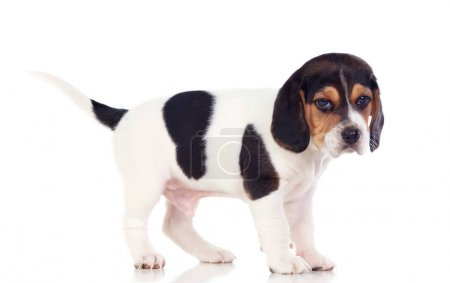 cute beagle puppy isolated on white background