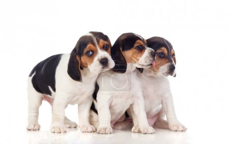 three beautiful beagle puppies isolated on white background