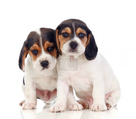 Two beautiful beagle puppies isolated on white background