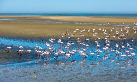 Flock of pink flamingos on coast of atlantic bay