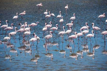 Flock of flamingos at Walvis Bay