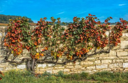 Old vineyard in autumn colors