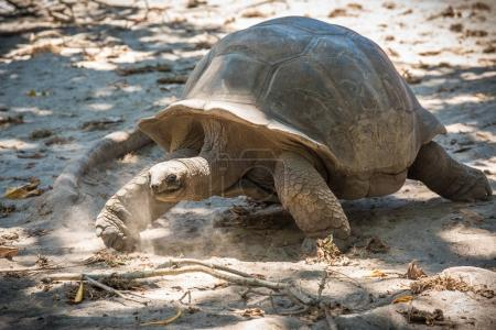 Seychelles giant tortoise on the sand