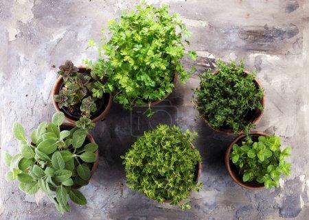 Photo pour Herbes maison et aromatiques dans de vieux pots d'argile. Ensemble d'herbes culinaires. Sauge verte, origan, thym, persil, menthe et origan . - image libre de droit