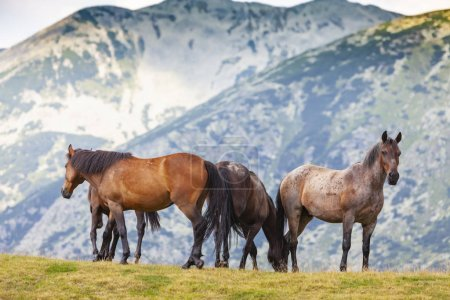 Beautiful wild horses roaming free in the mountain...