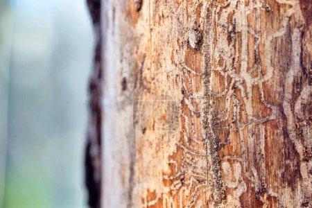 Madera de pino erosionada en agujeros de gusano, sufre de infección de escarabajo de corteza en un fondo borroso de bosque de pino desenfocado con espacio para copiar .