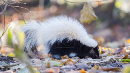 Skunk (Mephitis mephitis) in winter