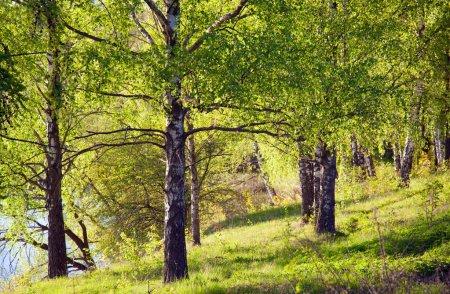 Birches in sunny park