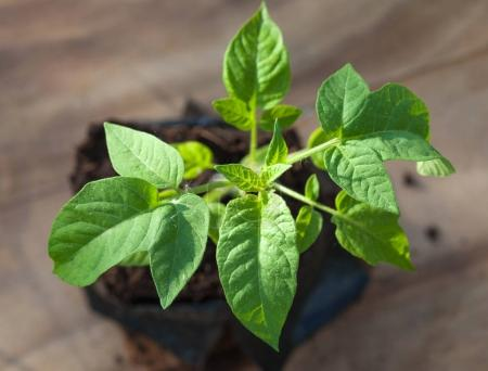 Green tomato plant
