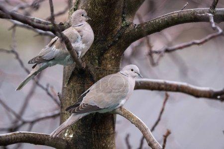Photo pour Tourterelles sur un arbre frissonnant de froid - image libre de droit