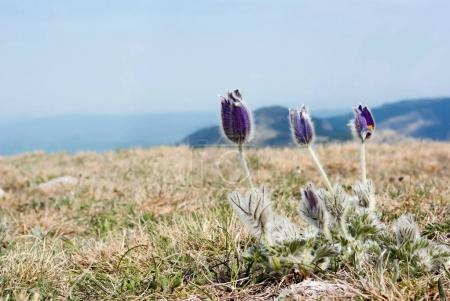 Photo pour Fleurs printanières poussant dans de belles montagnes - image libre de droit