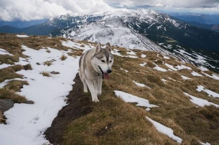 Photo for Husky dog walking in snowy mountains, Ukraine, Carpathians, may 2016 - Royalty Free Image