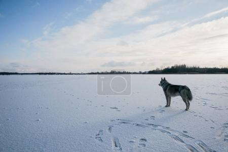 malamute dog on snowy field