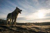 malamute dog