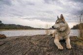 malamute dog resting on rock