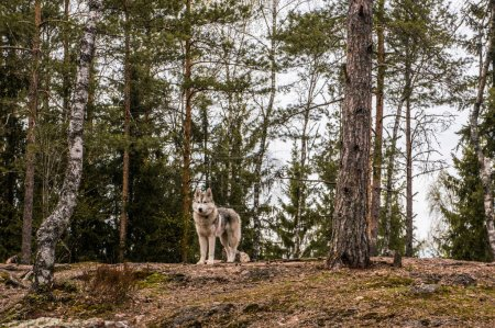 malamute dog in autumn forest