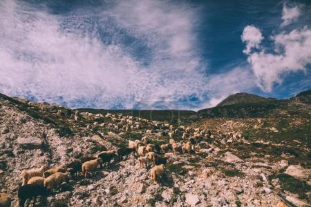 herd of sheep grazing on pasture in rocky mountains, Indian Himalayas, Rohtang Pass