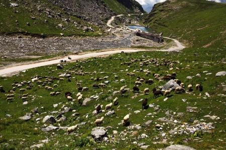 Photo pour Moutons paissant dans belle vallée, Indiens de l'Himalaya, col de Rohtang - image libre de droit