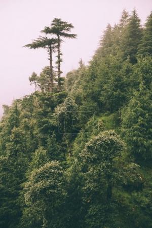 Foto de Hermosos árboles verdes crecen en el Himalaya indio, Dharamsala, Baksu - Imagen libre de derechos