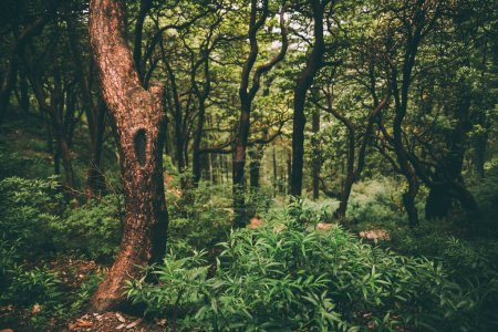 Photo for Majestic green forest in Indian Himalayas, Dharamsala, Baksu - Royalty Free Image