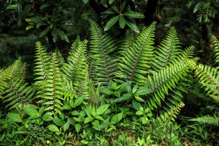 Photo for Close-up view of beautiful green fern growing in Indian Himalayas, Dharamsala, Baksu - Royalty Free Image