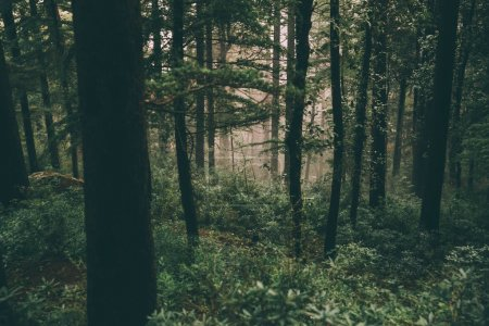 Photo pour Beaux arbres majestueux poussant dans l'Himalaya indien, Dharamsala, Baksu - image libre de droit