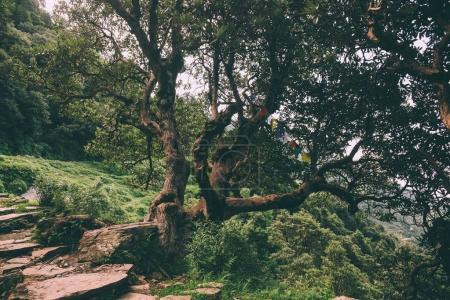Photo for Majestic trees and rocky path in Indian Himalayas, Dharamsala, Baksu - Royalty Free Image