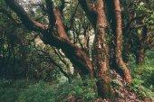 majestic trees growing in Indian Himalayas, Dharamsala, Baksu