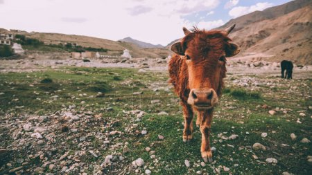 Photo for Close-up view of brown cow looking at camera in rocky valley in Indian Himalayas, Ladakh region - Royalty Free Image