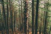 beautiful tall evergreen trees growing in Indian Himalayas, Manali