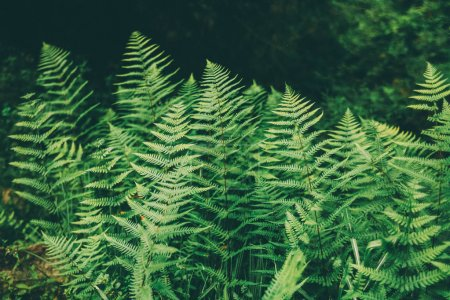 Photo for Close-up view of beautiful green fern growing in Indian Himalayas, Manali - Royalty Free Image