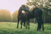 beautiful black horses grazing on green pasture in Altai, Russia