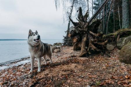 Photo pour Chien malamute debout sur la rive sablonneuse du lac contre l'eau, Vileyka, Biélorussie - image libre de droit