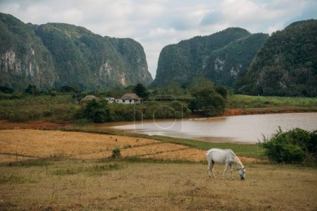Photo for Horse grazing near village, Cuba, Vinales valley, November 2016 - Royalty Free Image