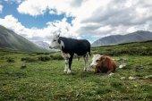 """Постер, картина, фотообои """"коровы"""""""