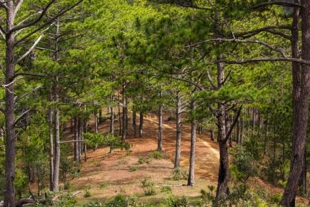 Photo for Beautiful evergreen green trees and vegetation in forest, vietnam, dalat region - Royalty Free Image