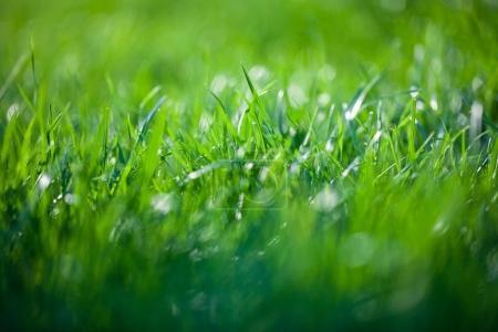 Photo pour Gros plan d'herbe verte fraîche - image libre de droit