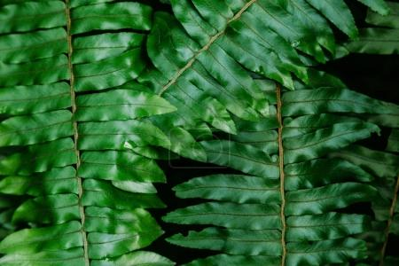 close-up shot of beautiful fern leaves for background
