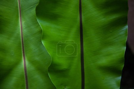 close-up shot of beautiful banana leaves as background