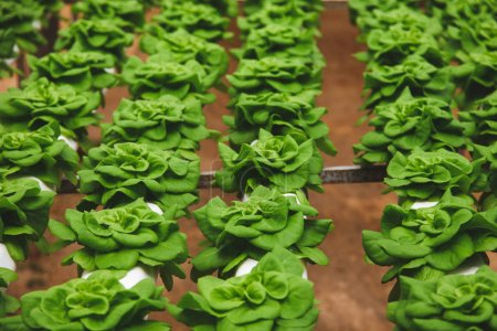 Photo for Rows of beautiful green Butterhead cultivating at greenhouse - Royalty Free Image