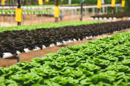 Photo for Rows of red and gren Butterhead cultivating at greenhouse - Royalty Free Image